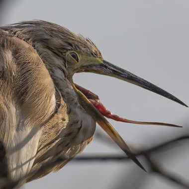 Le héron crabier bâille aux corneilles ! par patrick69220