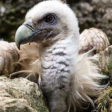Jeune vautour par patrick69220
