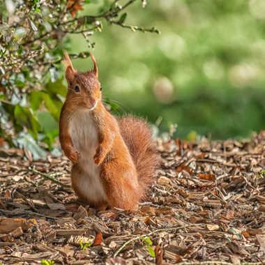 L'écureuil par SophieDel