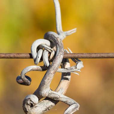 Vrille de vigne par gabrasil