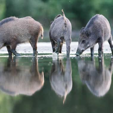 Les 3 petits cochons.... par jeromebouet