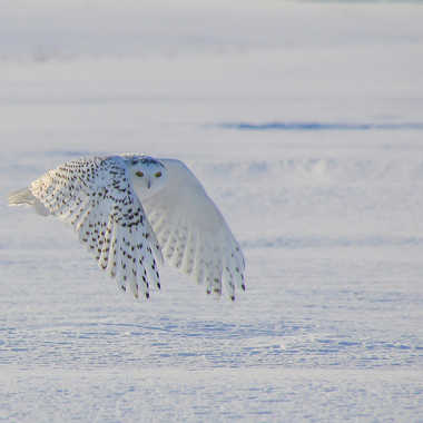 Harfang des neiges par Desj5687