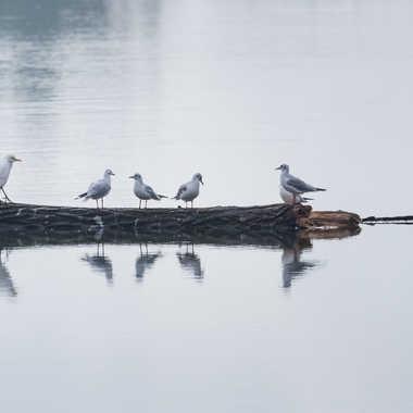 Radeau des oiseaux sur la Saône par patrick69220