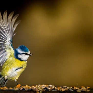 La mésange Bleu par Pierre Alisson