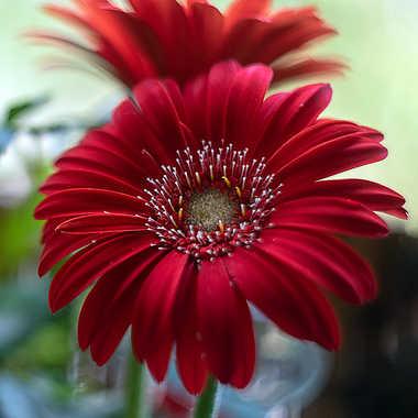 Les belles rouges par Valérie Tirard