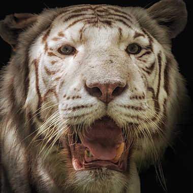 Tigre blanc par patrick69220