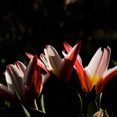tulipes  par brj01