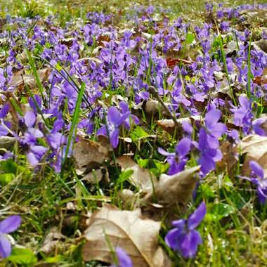 violettes  par brj01