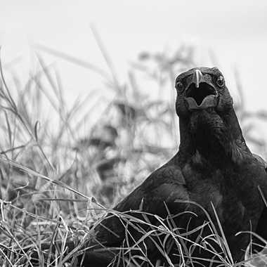 Oiseau à mauvaise réputation par patrick69220