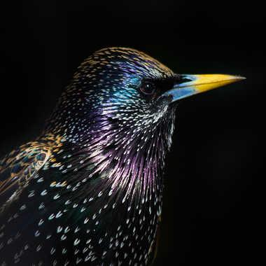 Les couleurs du sanssonnet par Isabellefalconnet