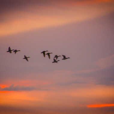 envol de canards par brj01