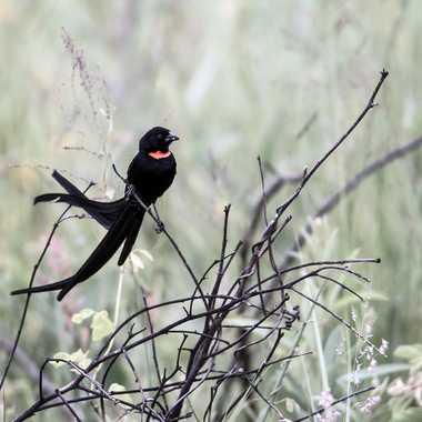 Euplecte veuve-noire par patrick69220