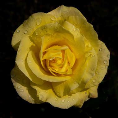 La rose par bobox25