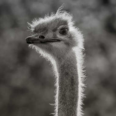 Portrait d'autruche par patrick69220