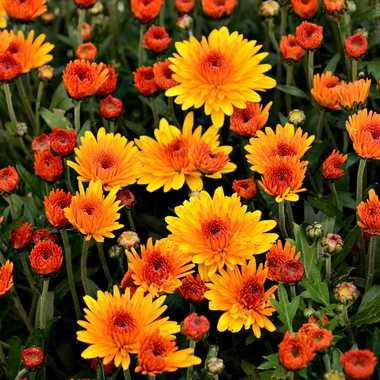 Farandole de Chrysanthèmes par mamichat