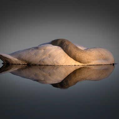 laissé dormir le cygne par patouphoto