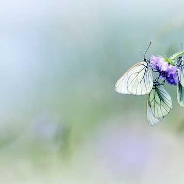 Fleur de papillon par Farim