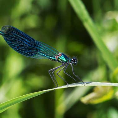 Libellule Bleu par jean-Luc
