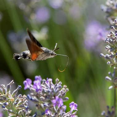 papillon par dolan