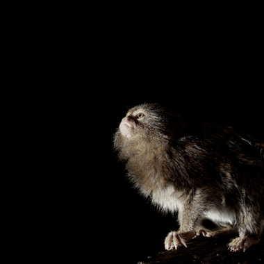 Ouistiti pygmée , le plus petit singe du monde par Oeildeprimate