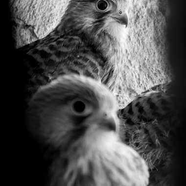 Les faucons du grenier par patrick69220