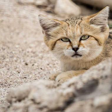 Chat des sables par dvandenabelle