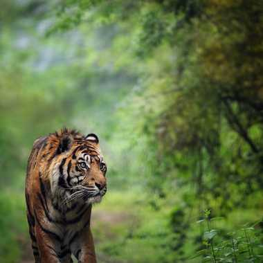 Sumatra Tiger ... par ec-photographie