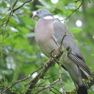 Pigeon ramier par JPML
