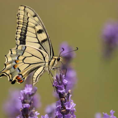 machaon par dslider01