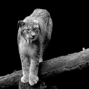 Vieux Lynx par lynx