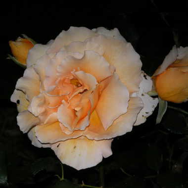 Rose.... de nuit par Albatros