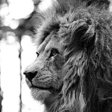 Le Roi par lynx
