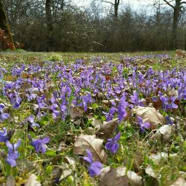 champ de violettes  par brj01