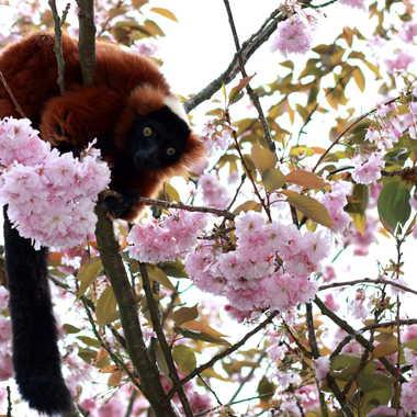 Maki en fleur par Oeildeprimate