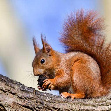 Ecureuil roux par CASSIER
