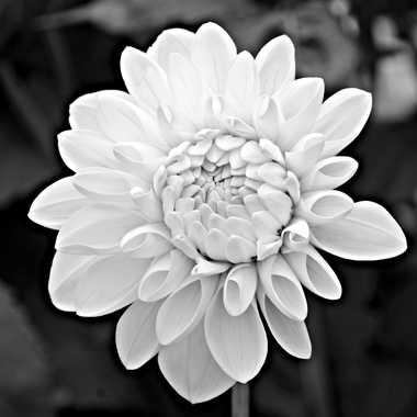 Dahlia en blanc et noir par mamichat