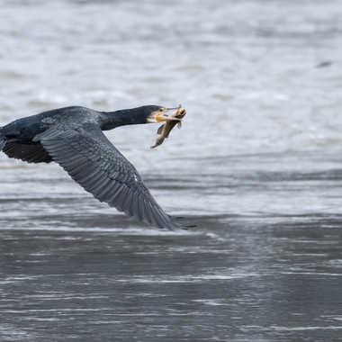 Belle prise pour le cormoran par patrick69220