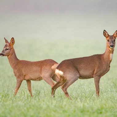 Chevreuil (Capreolus capreolus) Roe deer, Reh par solivier