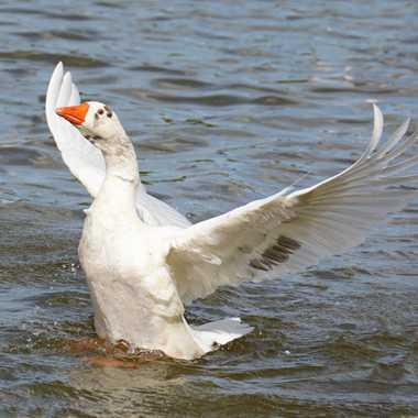 La danse du canard par mamichat