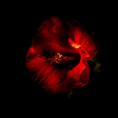 Hibiscus V par Jerome Rabille