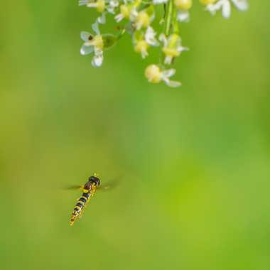 Le syrphe en approche florale. par Philipounien
