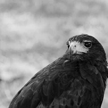 Petit Faucon par mamichat