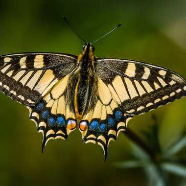 Machaon par fapa14