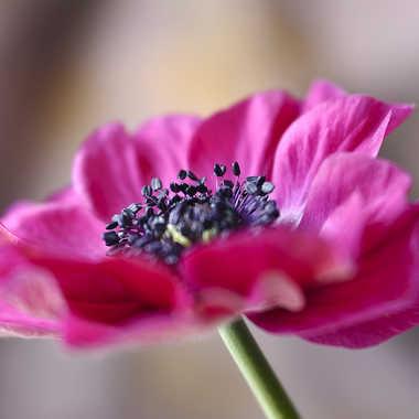 anemone par genevieve_3824