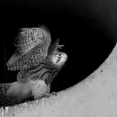 Premier déploiement d'ailes pour le juvénile par patrick69220