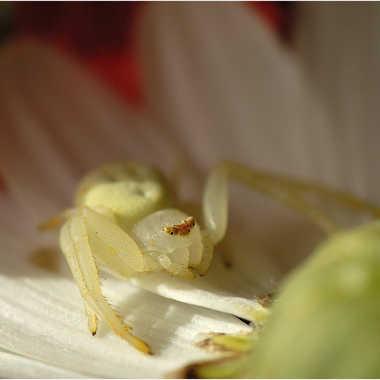 araignée crabe par genevieve_3824