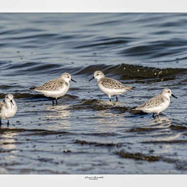 Bécasseau sanderling a la plage par daniel13660