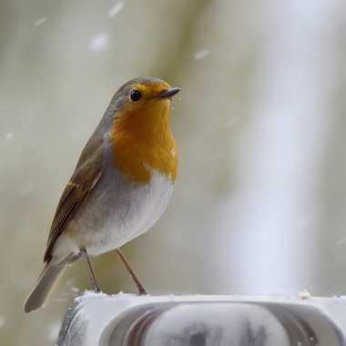Pipit  sous la neige. par Colybri