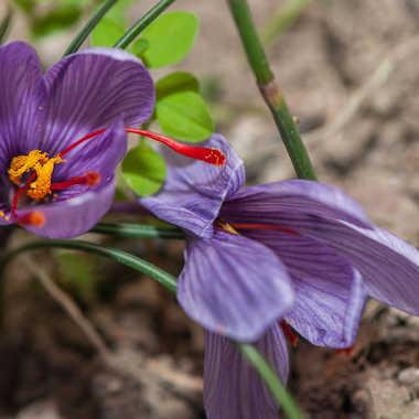 crocus sativus par photosud