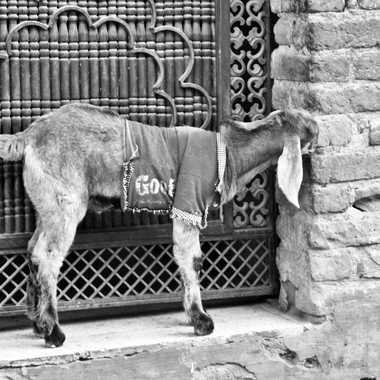 Chèvre habillée de Bikaner. par patrick69220